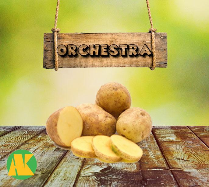 orchestra patates tohumu