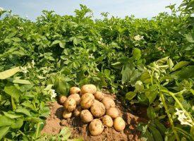 Patates Tarlalarımız (1)