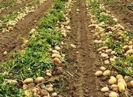 Patates Tarlalarımız (12)