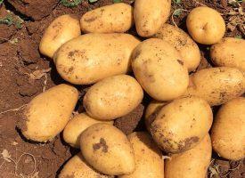 Patates Tarlalarımız (15)