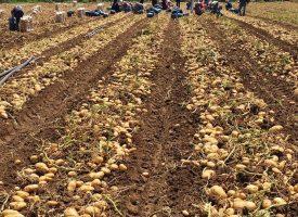 Patates Tarlalarımız (20)