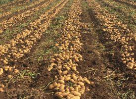 Patates Tarlalarımız (22)