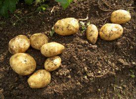 Patates Tarlalarımız (3)