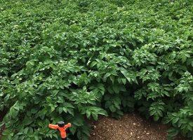 Patates Tarlalarımız (4)