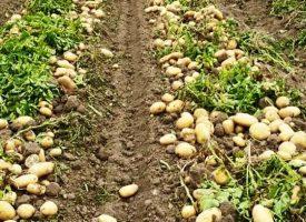 Patates Tarlalarımız (9)