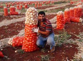 Soğan Tarlalarımız (1)