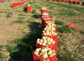 Soğan Tarlalarımız (3)