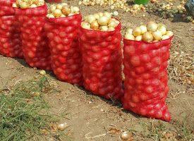 Soğan Tarlalarımız (4)