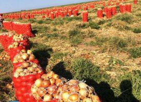 Soğan Tarlalarımız (7)
