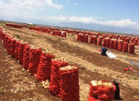 Soğan Tarlalarımız (9)